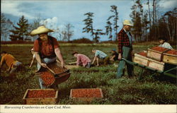 Harvesting Cranberries on Cape Cod, Mass.