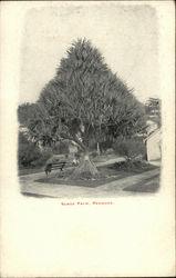 Scrue Palm